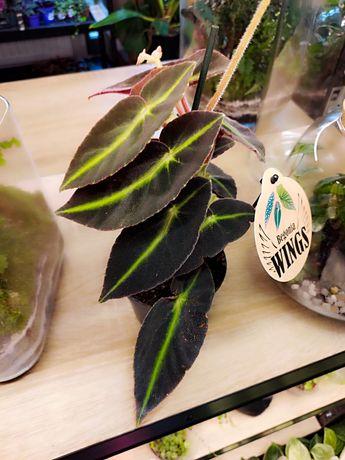 Begonia Listada - nowa większe ilości