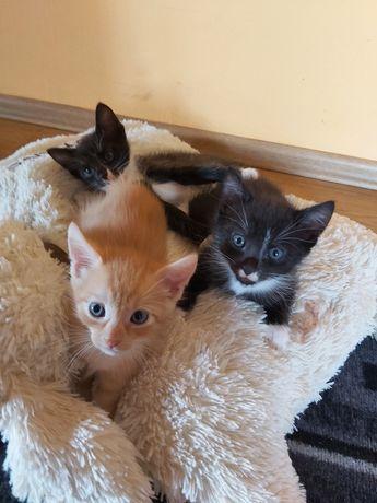 Oddam trzy małe kotki