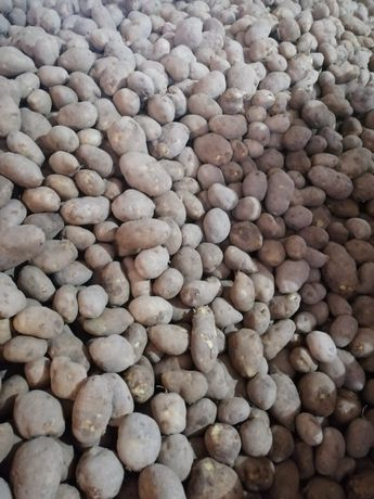 Ziemniaki jadalne