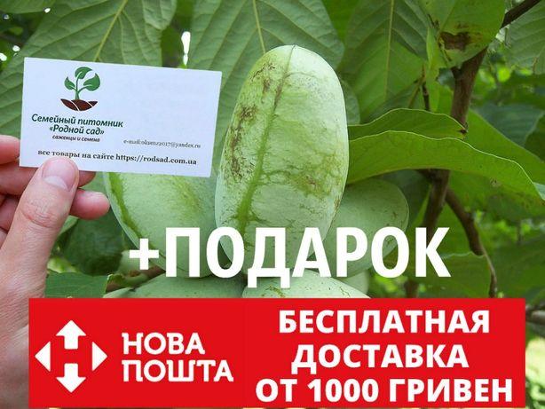 Азимина семена 10 штук для саженцев(мексиканский банан)насіння азіміна