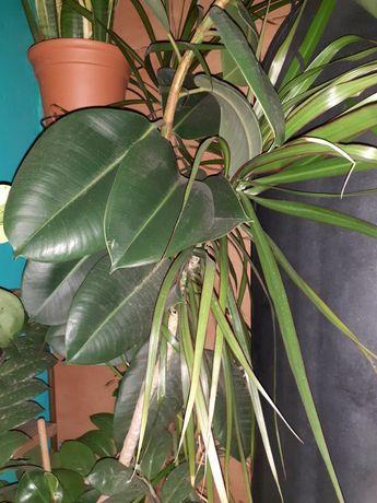 Dracena z fikusem w duecie,  rośliny doniczkowe