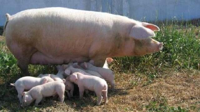 Продам свиней срочно