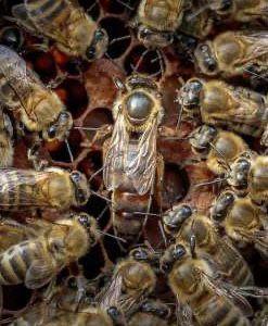 Продам бджолопакети (пчелопакеты)