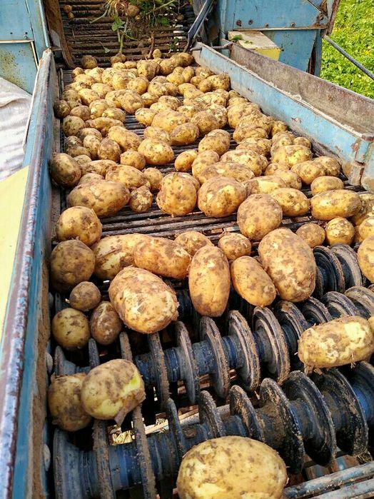 Sprzedam Ziemniaki, ziemniak młody. Ladny kartofel Sieradz - image 1