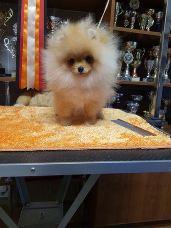 Pomeranian piesek