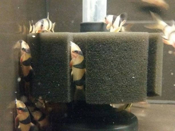 Bocja wspaniała (Chromobotia macracanthus)