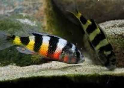 Ciclídeo Haplochromis latifasciatus macho