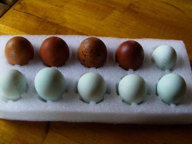 Lote Ovos de Araucana e Marans Negro Cobre
