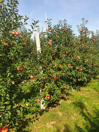 sad jabłoniowy na Powiślu koło Opola Lubelskiego