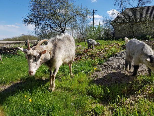 Коза с двумя козлятами
