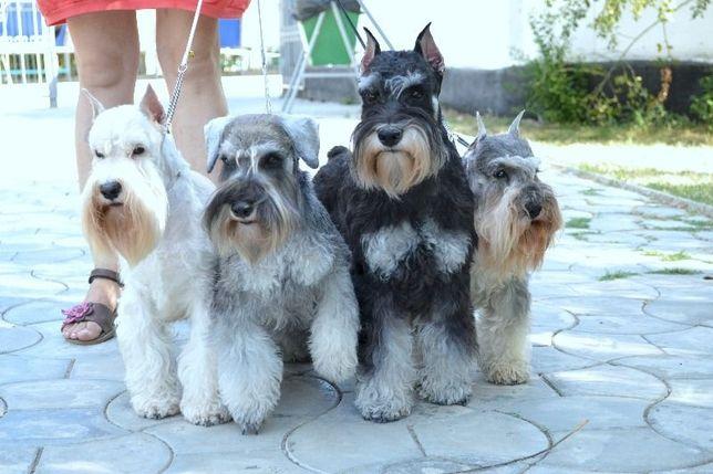 Замечательные щенки цвергшнауцера из питомника. Родословная КСУ
