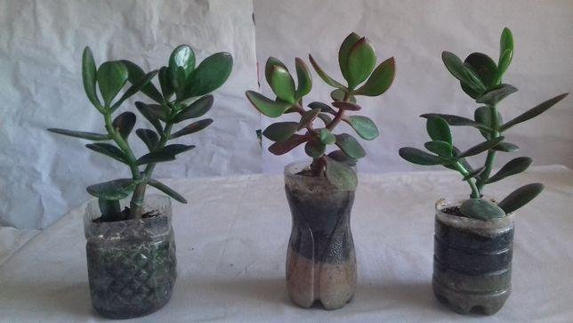 Продам ростки «Денежного дерева»