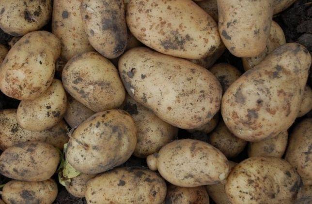 Картопля, Картошка, тона