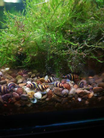 Улитка хелена – хищный моллюск