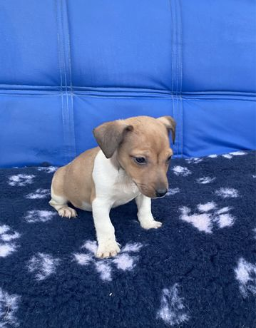 Jack Russell Terrier Qualidade Superior