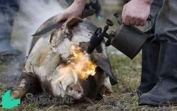 Забой свиней обвалка мяса
