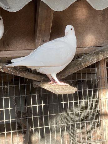 Московский или русский выставочный голубь