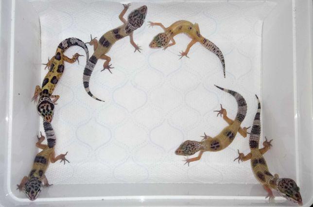 Gekon gekony lamparcie młode 1