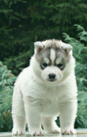 Siberian husky FCI