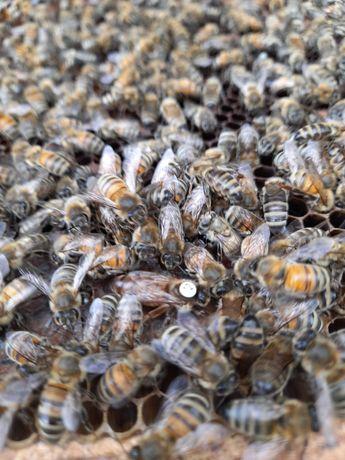 Sprzedam tegoroczne rodziny pszczele odklady
