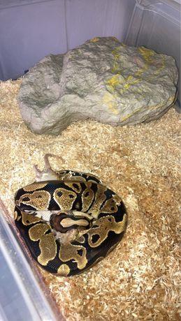Wąż królewski !!!