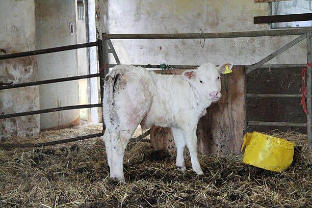 Jałoszki i byczki mięsne do chowu