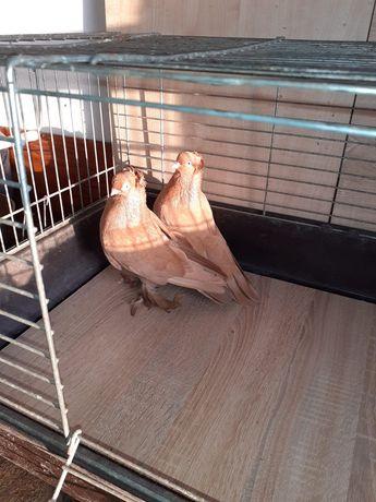 Gołębie ozdobne Wywrotki Mazurskie