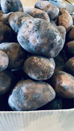 Картопля: сорт ( Біла Росса )
