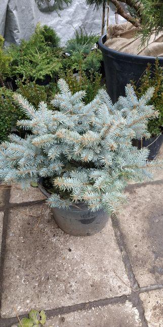 Ель голубая шарообразной Abies lasiocarpa Argentea