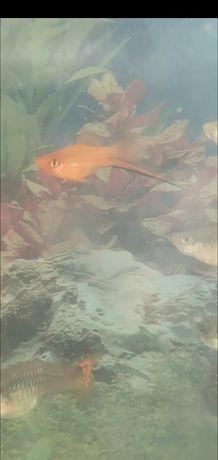 Продам самцов меченосцев, красивых рыбок! Рыбки
