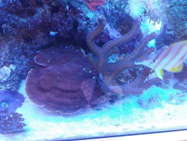 Koralowiec morski Stylophora Milka