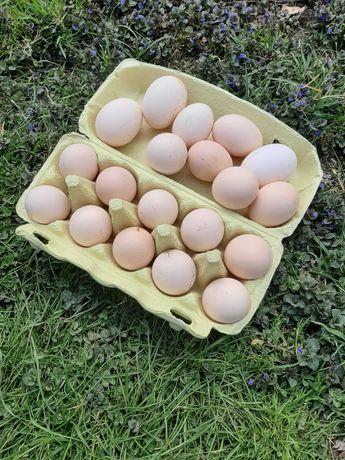 Jajka 8 zł od kury