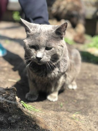 Классный серый кот Хомяк 5 лет, как британец, кіт, котик, кошеня