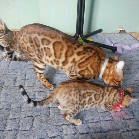 Бенгальские чистокровные котята. Питомник