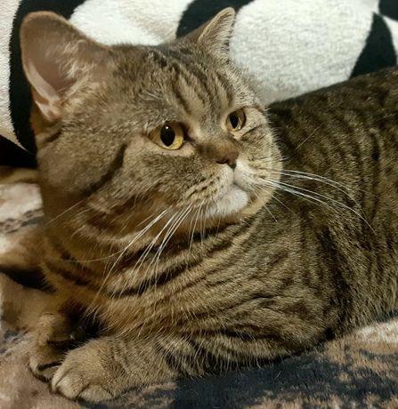 Вязка котов породы Кокиш Страйт
