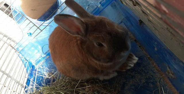 Sprzedam parę królików miniaturek