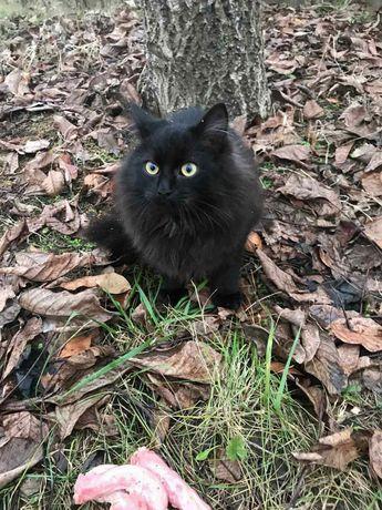 Отдам чёрного пушистого котенка, породы турецкая ангора, мальчик, 6 ме