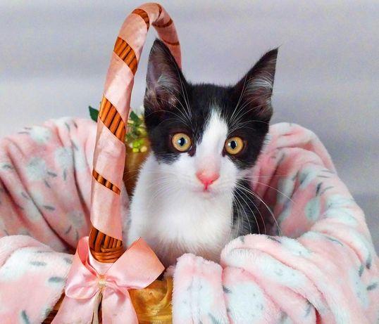 Чорно-біле кошеня Том (2,5 міс.) шукає дім. Котик, кіт в добрі руки