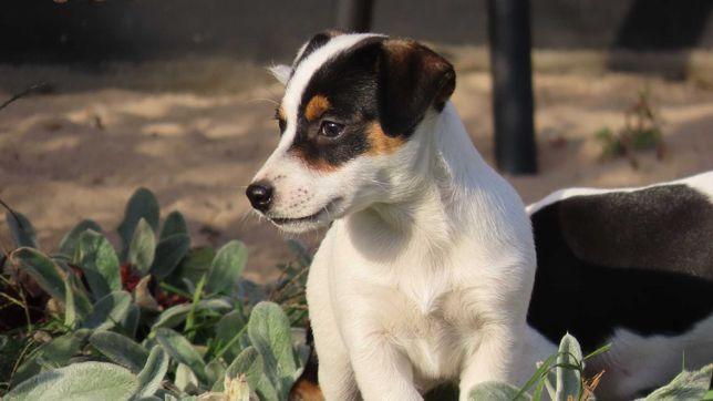 Jack Russell Terrier/BREFIO - wzorcowa suczka gładkowłosa, do odbioru