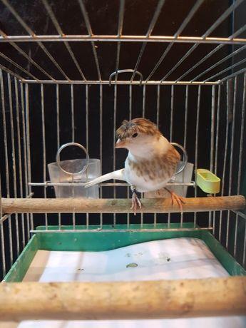 Kanarek Samiec Nr 9 Wysyłam ptaki kurierem