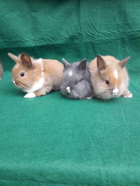 Декоративні кролики, карликові кролики, міні кролик.