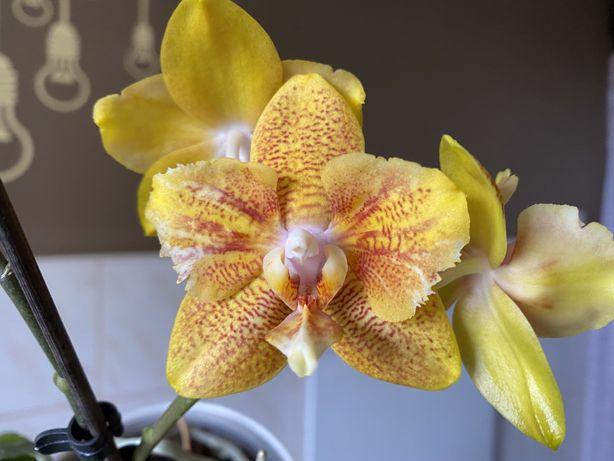 Орхідея Ауберге