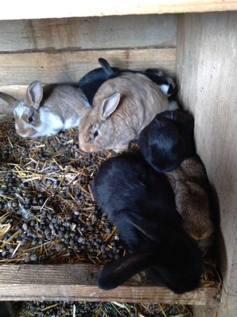 Młode króliki miesanice