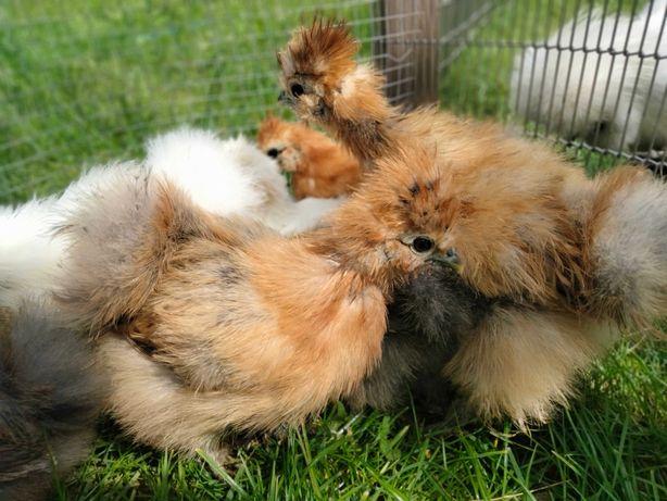 Silki jedwabiste kurczęta, kurczaki