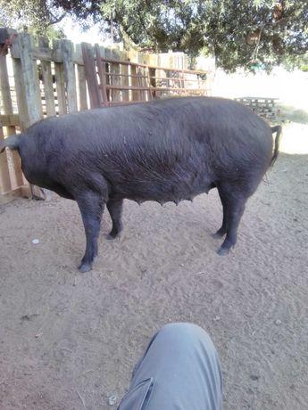 2 porcos 140 70 criados no campo