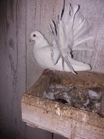 Gołębie pawiki pawie