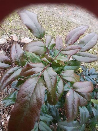 Sadzonki mahonii