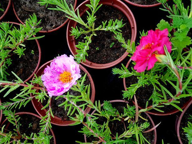 Portulanka wielkokwiatowa - mini różyczki