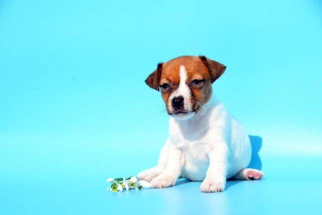 Предлагается к предварительному бронированию щенок джек (девочка)