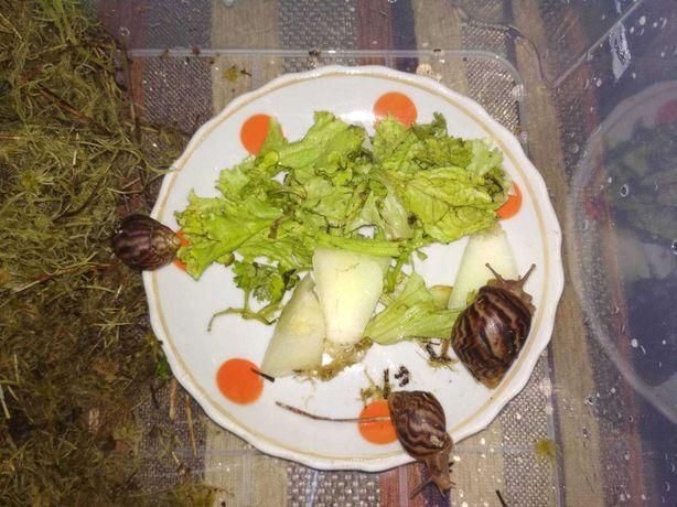 Дітки равлика Ахатинка до 1 см